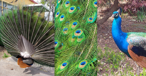 wp113 3 peacocks