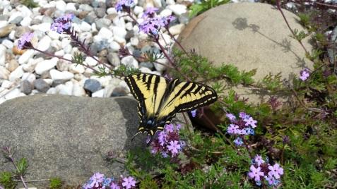 wp113 swallowtail