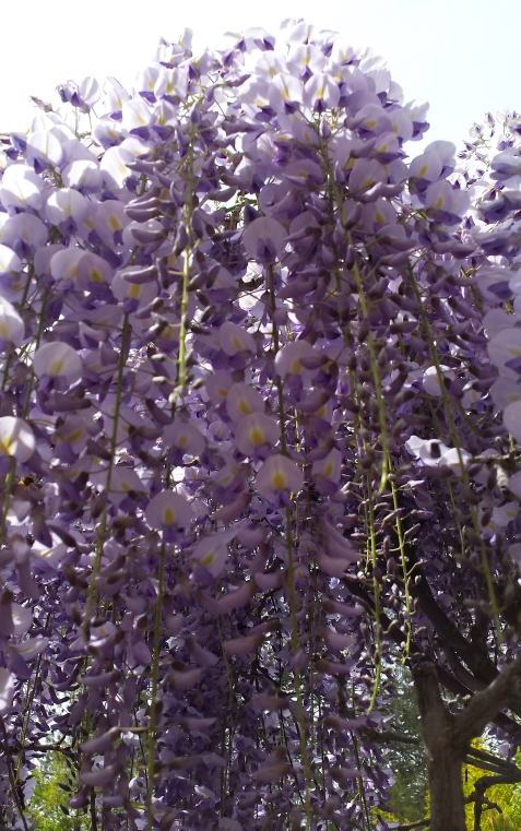 wp113 wisteria glory
