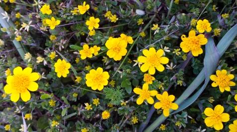 wp115 yellow daisylike