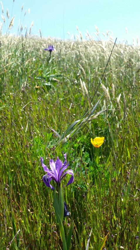 wp116 iris in field