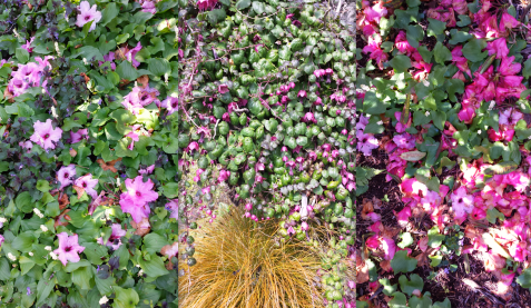 wp117 3 pink-green ground