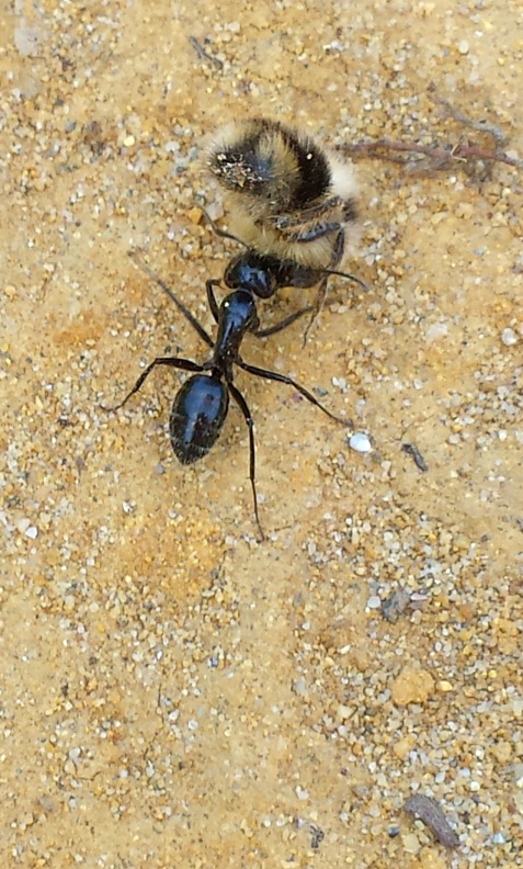 wp120 ant carrying bee