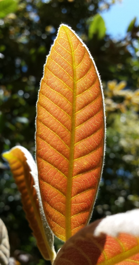 wp121 leaf in silo