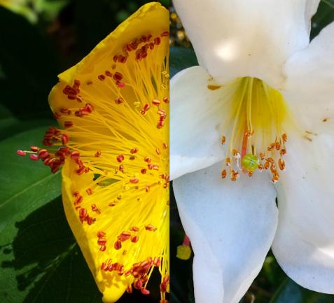 wp122 2 yellow, white rhodo