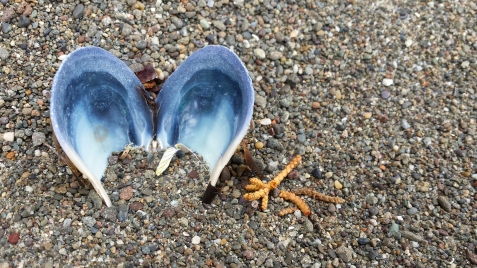 wp172 mussel mouse ears