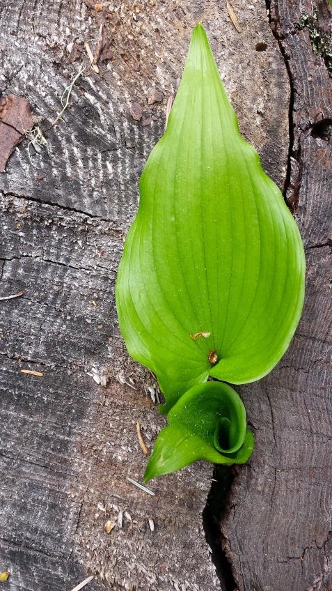 wp173 leaf in trunk