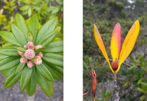 wp175 2 pygmy rhodie bloom, leaves