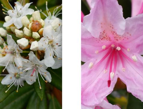 wp175 2 pygmy white, pink