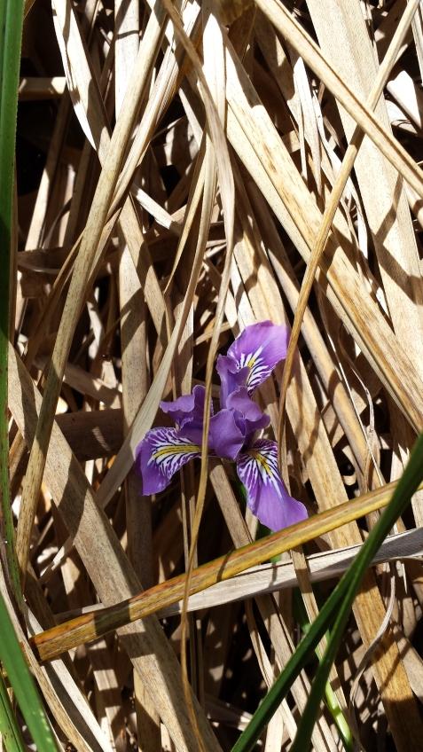 wp176 iris in pampas