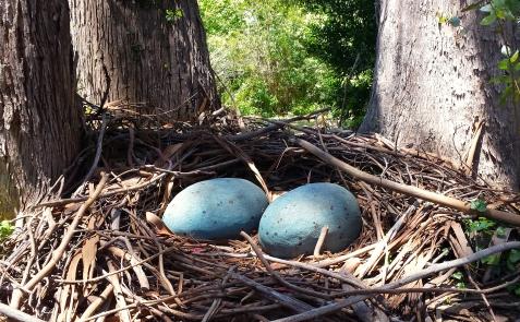 wp178 giant eggs in nest