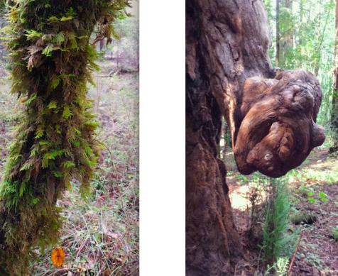 wp190 2 fern bark, knot