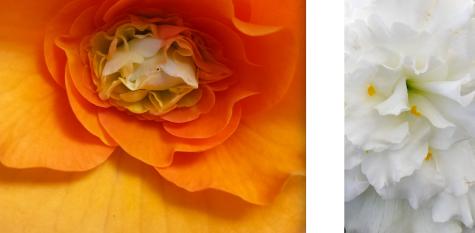 wp191 2 orange rose, white