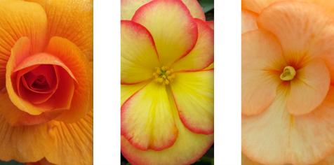 wp191 3 rose, beak, picotee