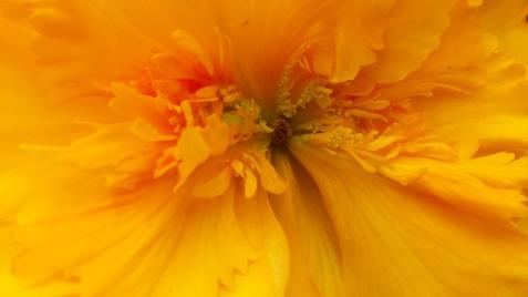 wp191 orange wild begonia