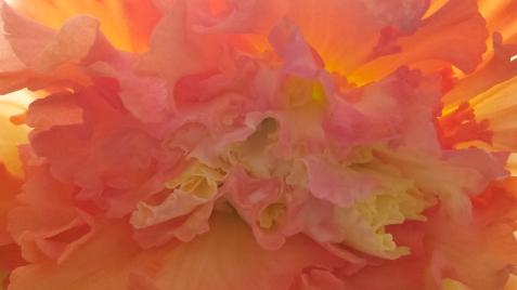 wp191 pink ruffle begonia