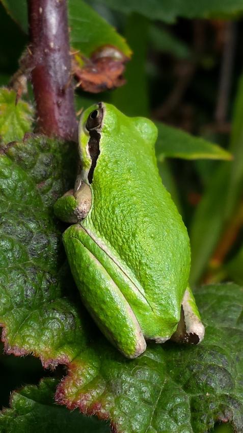 wp192 tree frog