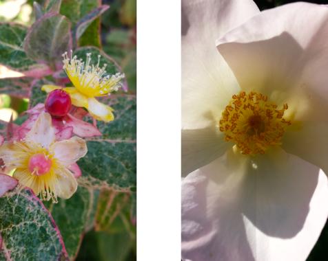 wp193 2 pink hal, rose
