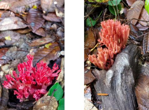 wp194 2 coral mushrooms