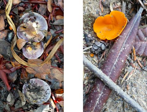 wp194 2 purple, orange mushrooms