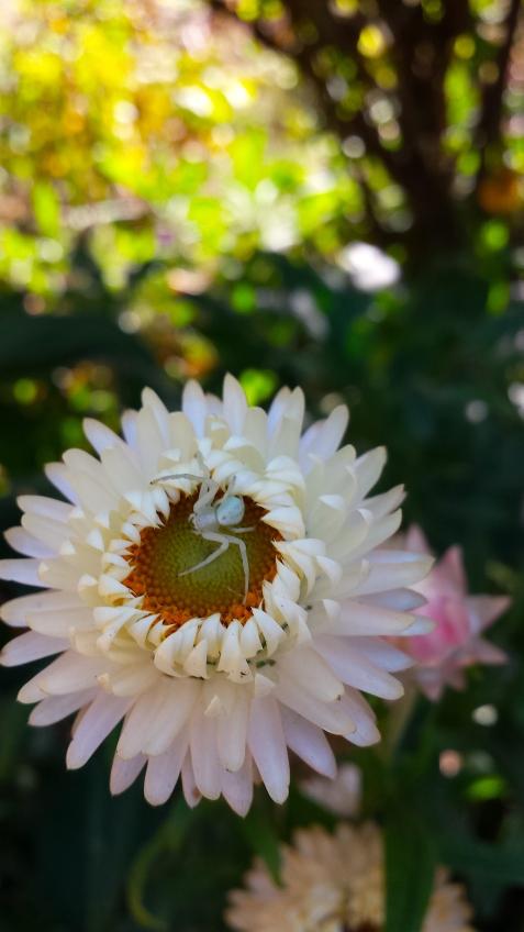 wp195 spider on strawflower