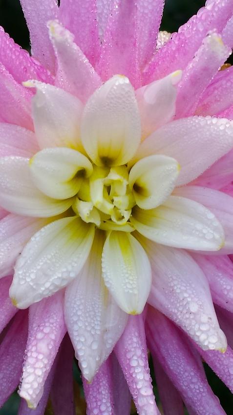 wp196 pink dahlia w dew